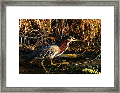 Framed Print featuring the photograph Green Heron by Larry Ricker