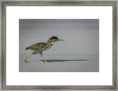 Framed Print featuring the photograph Green Heron On A Mission by Cindy Lark Hartman