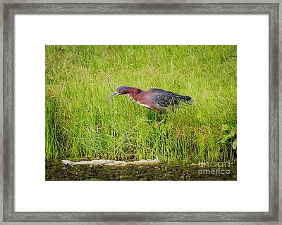 Framed Print featuring the photograph Green Heron On The Hunt by Ricky L Jones