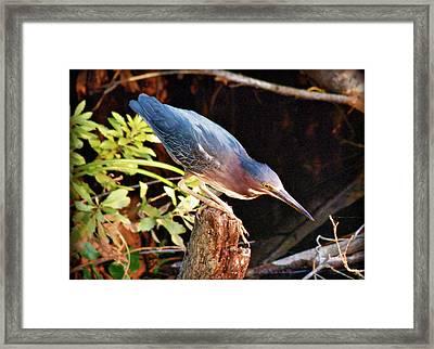 Green Heron Portrait Framed Print by Rose  Hill