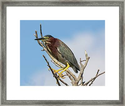 Framed Print featuring the photograph Green Heron by Robert Pilkington