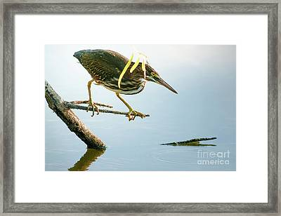 Framed Print featuring the photograph Green Heron Sees Minnow by Robert Frederick