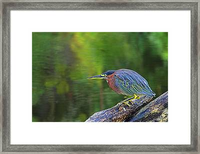 Framed Print featuring the photograph Green Heron- St Lucia by Chester Williams