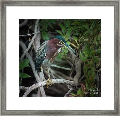 Green Heron Waiting Framed Print by Robert Frederick