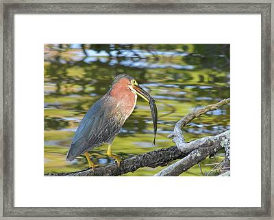 Green Heron With Fish Framed Print