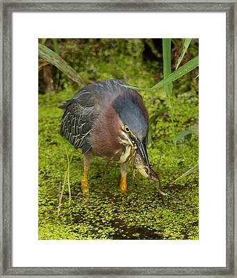 Green Heron With Prey Framed Print