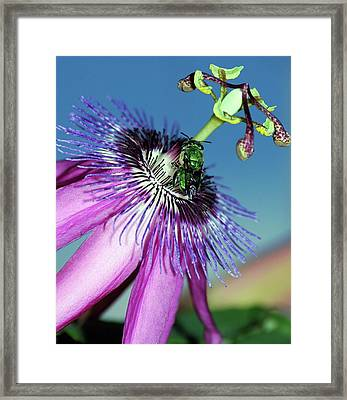 Green Hover Fly On Passion Flower Framed Print