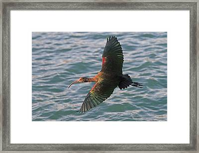 Green Ibis 6 Framed Print