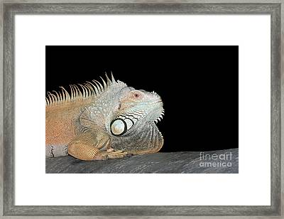 Green Iguana #2 Framed Print by Judy Whitton