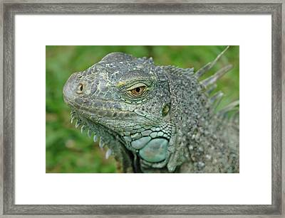 Green Iguana Framed Print by Mary Lane