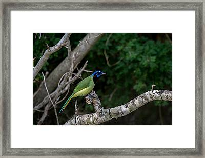 Green Jay Framed Print