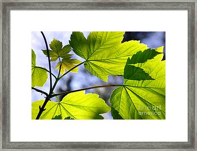 Green Leaves Framed Print by Carlos Caetano