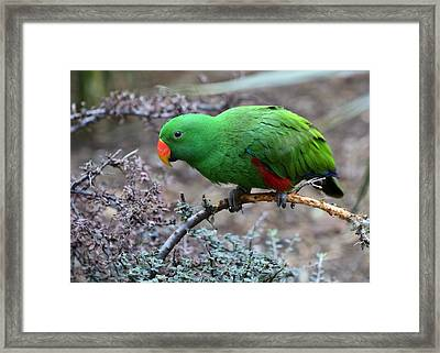 Green Male Eclectus Parrot Framed Print