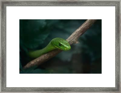 Green Mamba   Framed Print by Aidan Moran