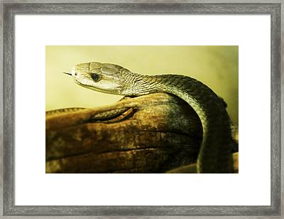 Green Mamba Framed Print by David Allen Pierson