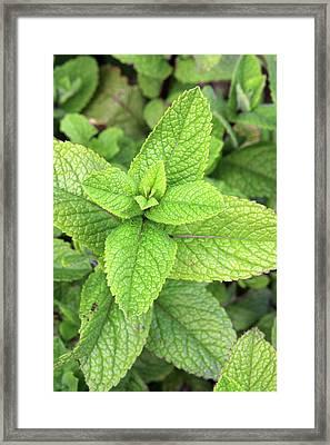 Green Mint Leaves Framed Print by Aidan Moran