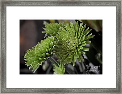 Green Mums Framed Print