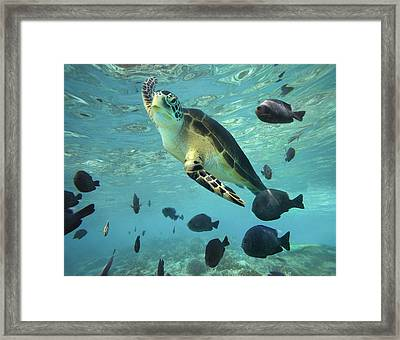 Framed Print featuring the photograph Green Sea Turtle Balicasag Island by Tim Fitzharris