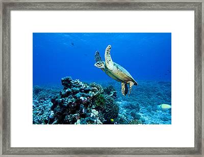 Green Sea Turtle Chelonia Mydas Framed Print by Tim Laman