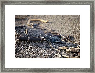 Green Sea Turtle Hatchling Framed Print