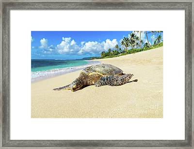 Green Sea Turtle Hawaii Framed Print