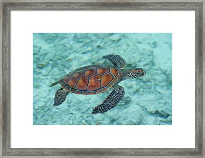 Green Sea Turtle Framed Print by Mako photo