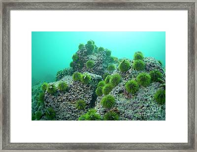 Green Sea Urchin Framed Print by Sami Sarkis