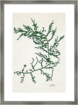 Green Seaweed Art Cystoseira Fibrosa Framed Print by Christina Rollo