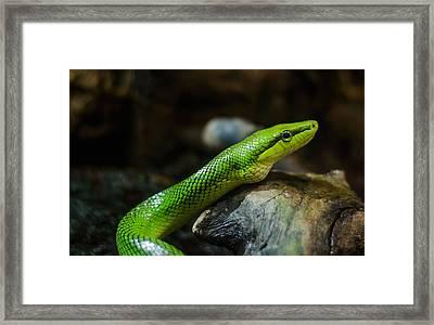 Green Snake Framed Print by Daniel Precht