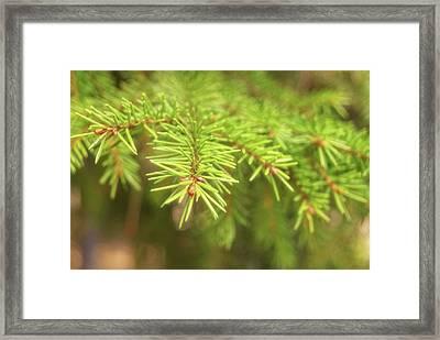 Green Spruce Branch Framed Print by Anton Kalinichev