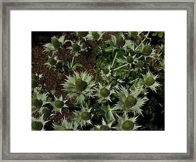 Green Thistles In Botanical Garden Of Bern Framed Print
