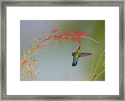 Green-throated Carib Framed Print