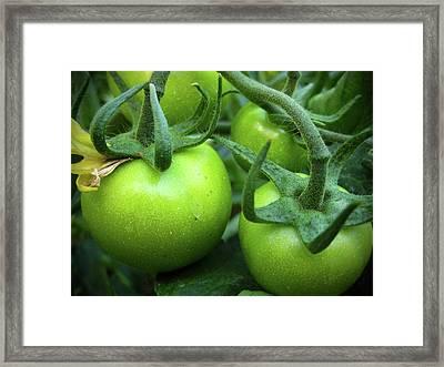 Green Tomatoes No.1 Framed Print by Kamil Swiatek