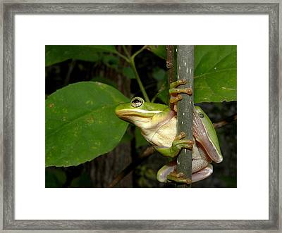 Green Tree Frog II Framed Print by Griffin Harris