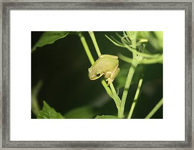 Green Tree Frog On Hibiscus Framed Print by Paula Coley