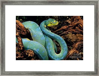Green Tree Python Morelia Viridis Framed Print by Gerard Lacz