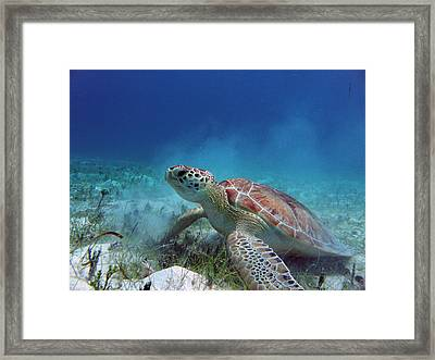 Green Turtle Framed Print by Kimberly Mohlenhoff
