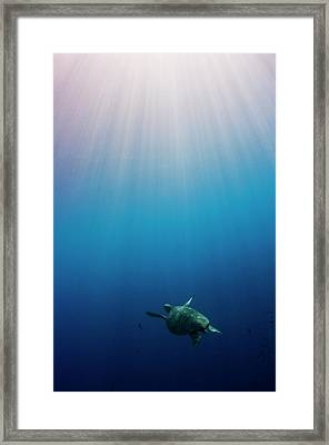 Green Turtle Swimming In Sunlit Ocean Framed Print