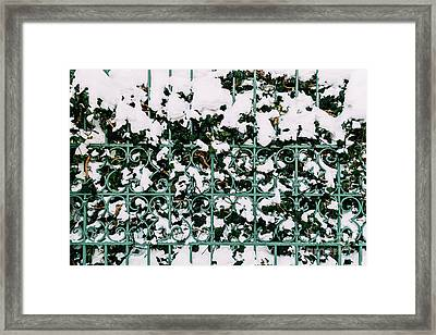 Green Vines Growing Through Steel Fence Covered In Winter Snow Framed Print by Radu Bercan