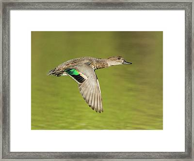 Green-winged Teal 6320-100217-2cr Framed Print