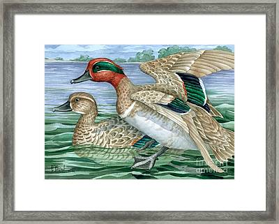 Green Winged Teal Framed Print by Paul Brent