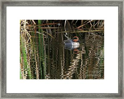 Green Winged Teal  Framed Print