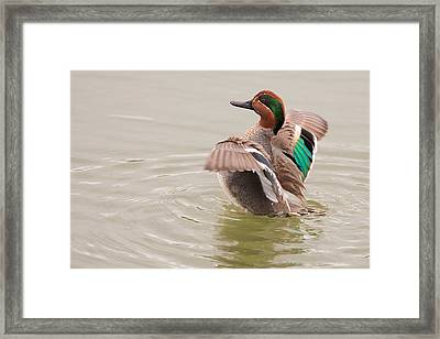 Framed Print featuring the photograph Green-winged Teal by Ram Vasudev