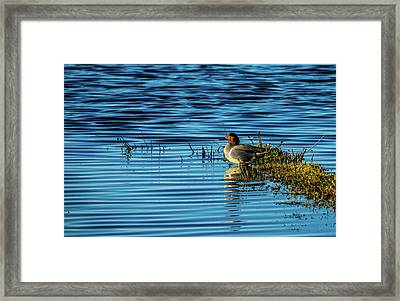 Green-winged Teal Framed Print