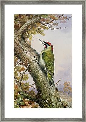 Green Woodpecker Framed Print by Carl Donner