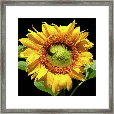 Framed Print featuring the photograph Greenburst Sunflower by Rona Black