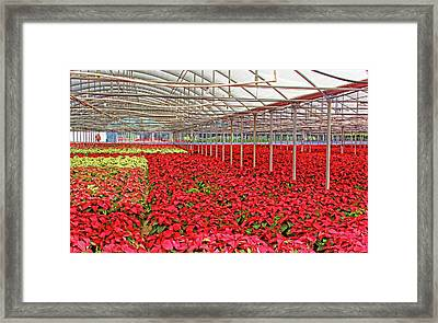 Greenhouse Poinsettias Framed Print by HH Photography of Florida