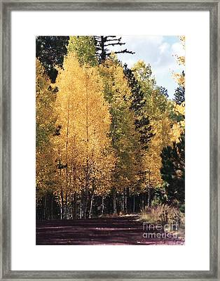 Greer Arizona Aspen Trees Framed Print