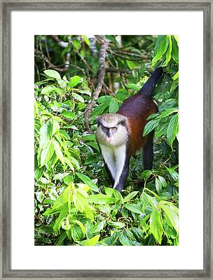Grenada Monkey Framed Print