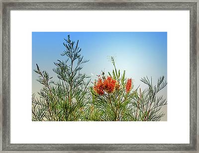 Grevillea With Moon Framed Print